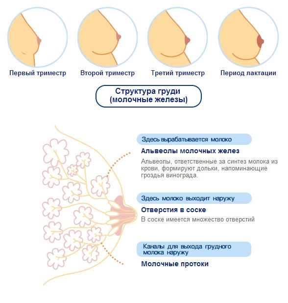 Во время беременности сильно болит грудь