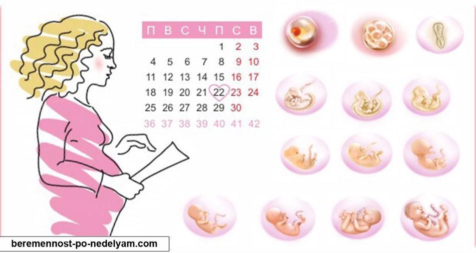 Как определяется срок беременности
